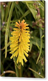 Red-hot Poker (kniphofia 'toffee Nosed' ) Acrylic Print by Adrian Thomas