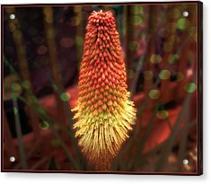Acrylic Print featuring the photograph Red Hot Poker by Melissa Messick