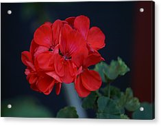 Red Is My Blossom Acrylic Print by Thomas D McManus