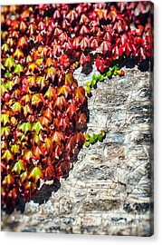 Acrylic Print featuring the photograph Red Ivy On Wall by Silvia Ganora