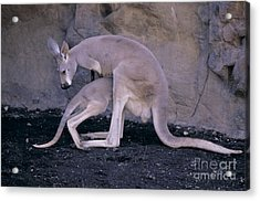 Red Kangaroo. Australia Acrylic Print by Art Wolfe