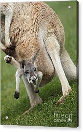 Red Kangaroo Joey Acrylic Print