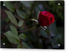 Acrylic Print featuring the photograph Red Knockout Rose by Ben Shields