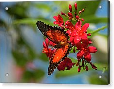 Red Lacewing Butterfly (cethosia Biblis Acrylic Print
