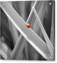 Red Ladybird Acrylic Print