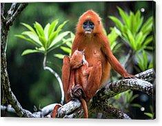 Red Leaf Monkey Suckling Acrylic Print by Paul Williams
