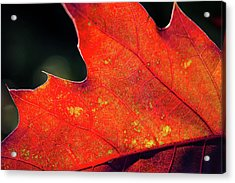 Red Leaf Rising Acrylic Print by Joe Martin A New Hampshire Portrait Photographer