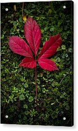 Red Leaf Acrylic Print by Shane Holsclaw