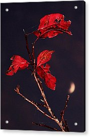 Red Leaves And Fading Moon Acrylic Print