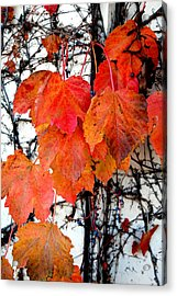 Red Leaves Of Fall Acrylic Print