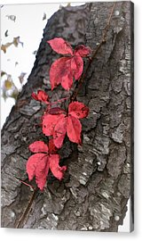 Red Leaves On Bark Acrylic Print