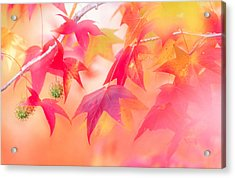 Red Leaves With Backlit, Autumn Acrylic Print