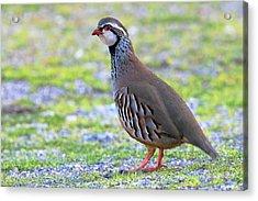 Red-legged Partridge Acrylic Print by Bildagentur-online/mcphoto-schaef