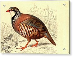 Red-legged Partridge Acrylic Print by Collection Abecasis