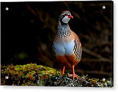 Red-legged Partridge Acrylic Print