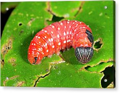 Red Lepidopteran Larva Acrylic Print by Dr Morley Read
