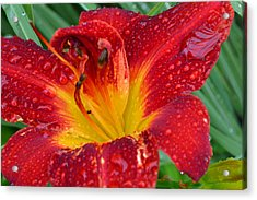 Red Lily After The Rain Acrylic Print