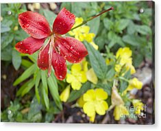 Red Lily And Yellow Buttercups Acrylic Print by Jonathan Welch