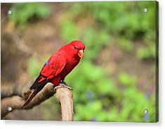 Red Lory Acrylic Print by Photography  By Sai