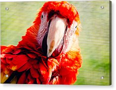 Red Macaw Acrylic Print by Pati Photography
