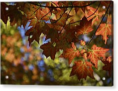 Red Maple Canopy Acrylic Print