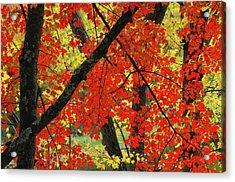 Red Maple Close-up, Sebago Lake State Acrylic Print