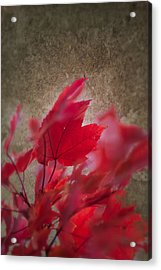 Red Maple Dreams Acrylic Print
