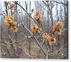 Red Maple In Flower Acrylic Print