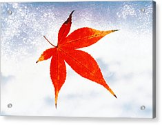 Red Maple Leaf Against White Background Acrylic Print by Panoramic Images