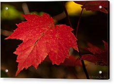 Red Maple Leaf In Fall Acrylic Print