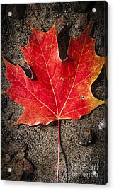 Red Maple Leaf In Water Acrylic Print