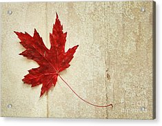 Red Maple Leaf Acrylic Print by Isabel Poulin