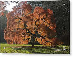 Red Maple Acrylic Print by Linda Asparro