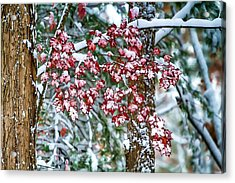 Red Maple With Snow Acrylic Print