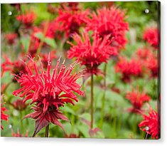 Red Monarda Acrylic Print by Rob Huntley