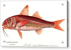 Red Mullet Acrylic Print