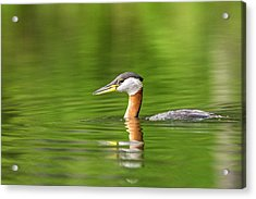 Red Necked Grebe Near Whitefish Acrylic Print by Chuck Haney
