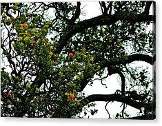 Red Ohia Lehua Tree Acrylic Print by Lehua Pekelo-Stearns