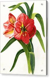 Red-orange Amaryllis Acrylic Print by Sharon Freeman