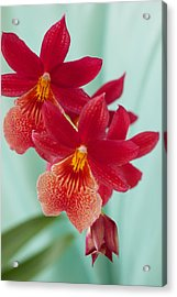 Red Orchids On Blue Acrylic Print by Bonita Hensley