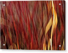Red Osier Dogwood Acrylic Print by Theresa Tahara