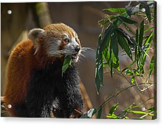 Red Panda Cafeteria Acrylic Print by Chris Fletcher
