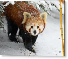 Red Panda In The Snow Acrylic Print