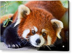 Red Panda Acrylic Print by Michael Hubley