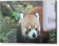 Red Panda - National Zoo - 01132 Acrylic Print by DC Photographer