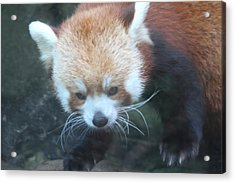 Red Panda - National Zoo - 01135 Acrylic Print by DC Photographer