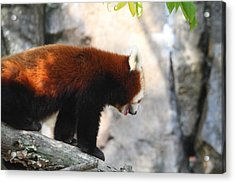 Red Panda - National Zoo - 01139 Acrylic Print by DC Photographer