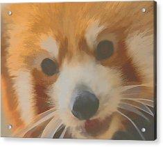 Red Panda Up Close Acrylic Print