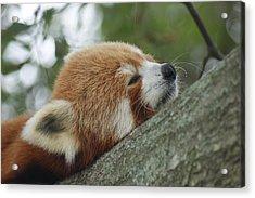 Red Panda Zen Acrylic Print by Leigh Ann Hartsfield