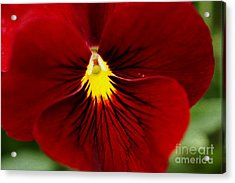 Red Pansy Acrylic Print by Nur Roy